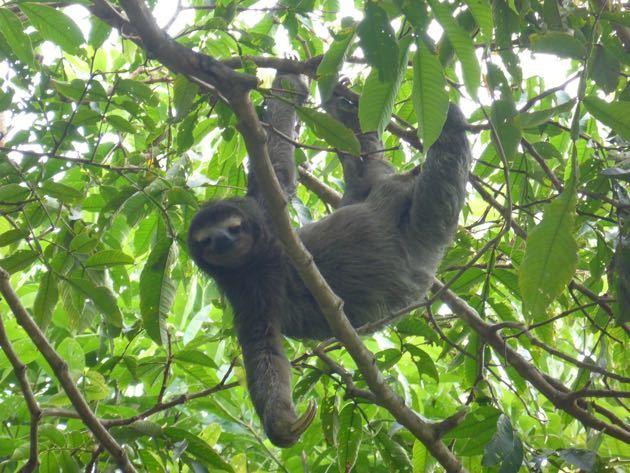 Sloths in Bocas del Toro